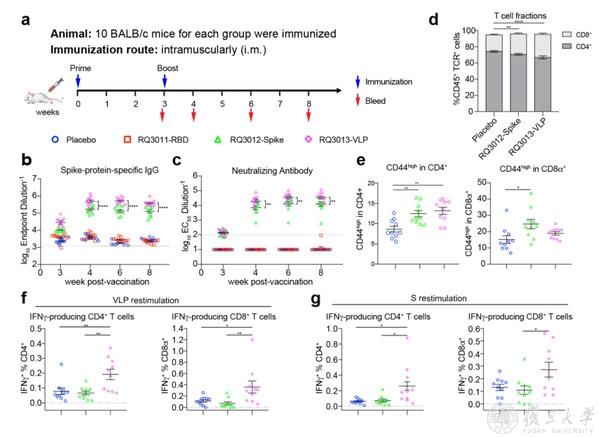图2. a.小鼠免疫示意图; b-c.三种疫苗诱导的结合抗体和中和抗体的差别;d-g.疫苗RQ3012-Spike和疫苗RQ3013-VLP激活的T细胞免疫比较。
