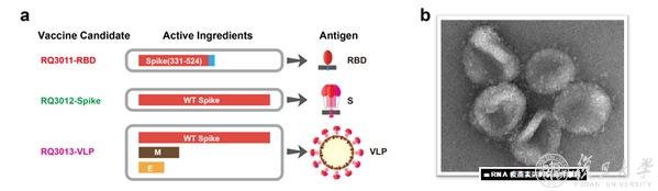 图1.a.三种mRNA疫苗设计方案;b.用mRNA疫苗表达的病毒样颗粒(VLP,电镜照片),与天然病毒极为相似。