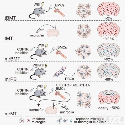 科研人员首次在全CNS尺度上实现异源性小胶质细胞替换/移植